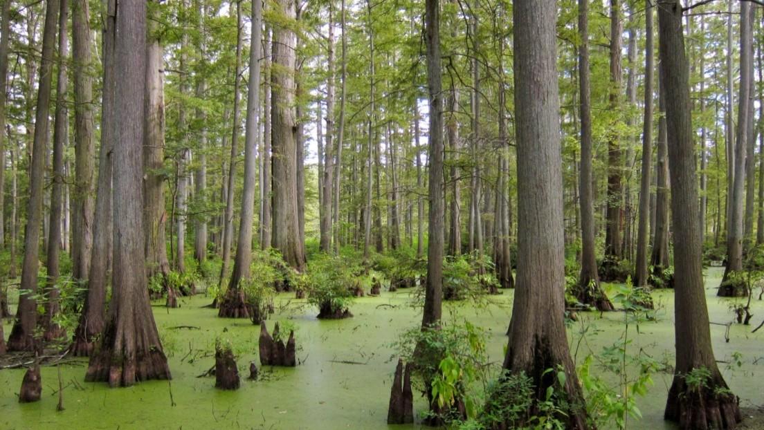 Científicos salen a la caza de fármacos en un bosque hundido hace 60.000 años
