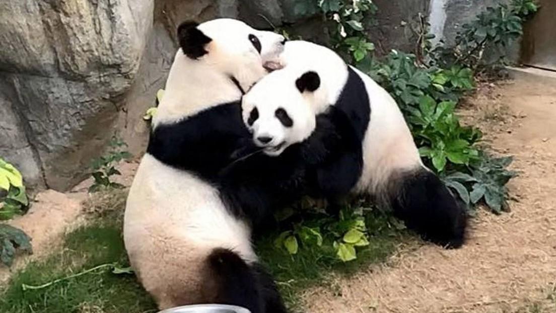 Luego de diez años juntos, en plena pandemia surge el amor entre dos pandas
