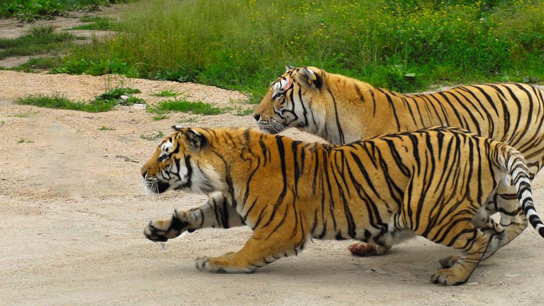 VIDEO: Turistas en un zoológico de China alimentan a tigres con 'cañas de pescar'