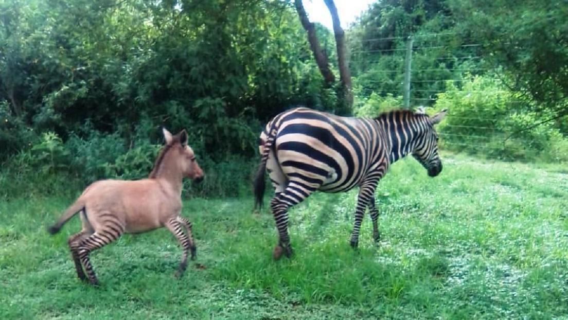 Nace cebrasno en Parque Nacional de Kenia