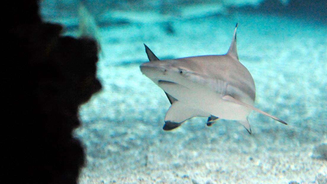 Un buceador 'hipnotiza' a un tiburón para sacarle un anzuelo de la mandíbula