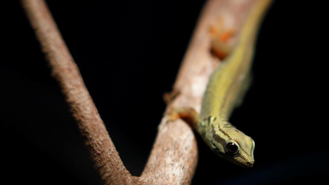 Descubren una nueva especie de reptil en Camboya y advierten que la actividad humana amenaza su existencia