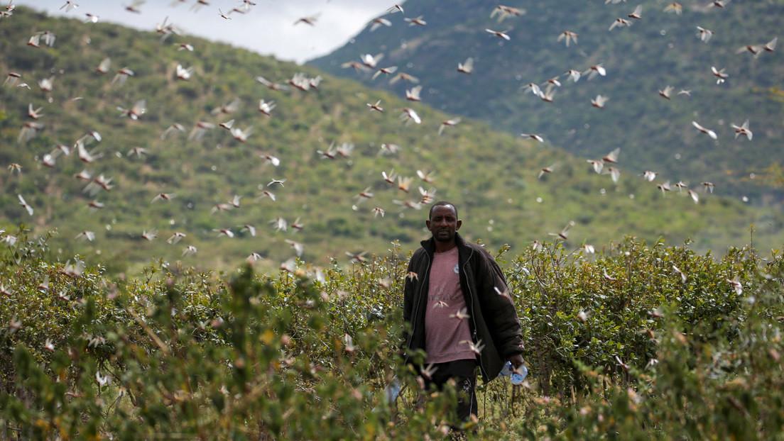 Una plaga de langostas destruye las tierras de cultivo en este país africano amenazando con una crisis alimentaria (FOTOS)