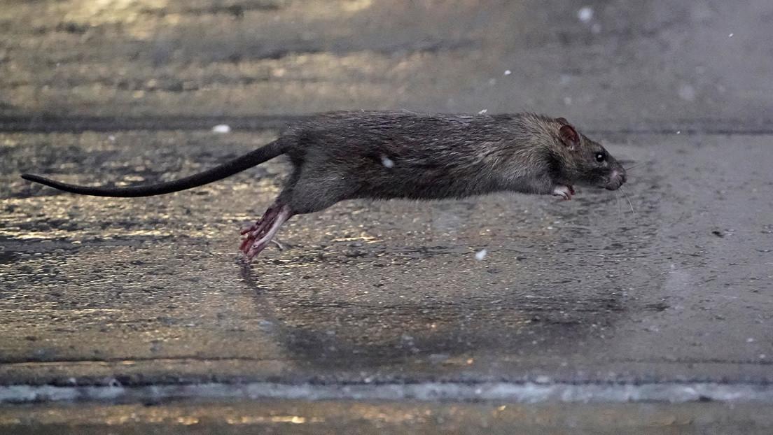 FOTOS, VIDEO: Ratas hambrientas salen a las calles en EE.UU. mientras se vaticina escasez de comida para los humanos