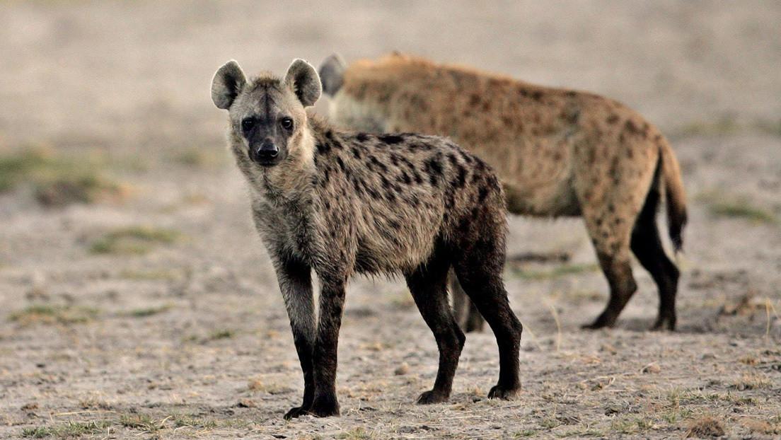 VIDEO: Una niña de dos años juega con una manada de hienas