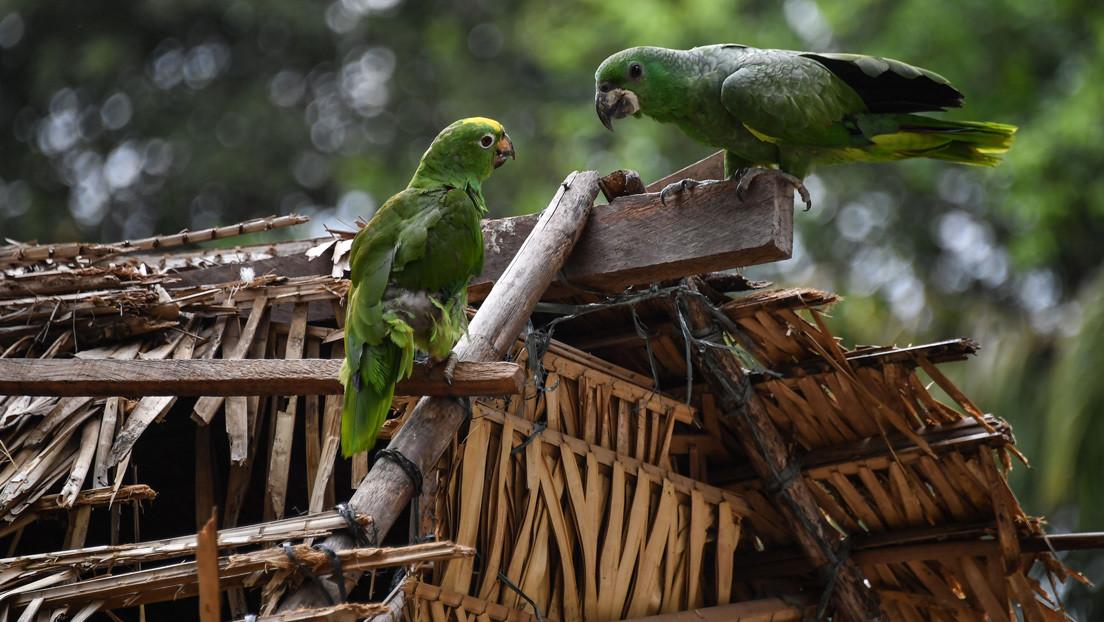 Descubren cómo evolucionó el cerebro de las aves tras la extinción de los dinosaurios