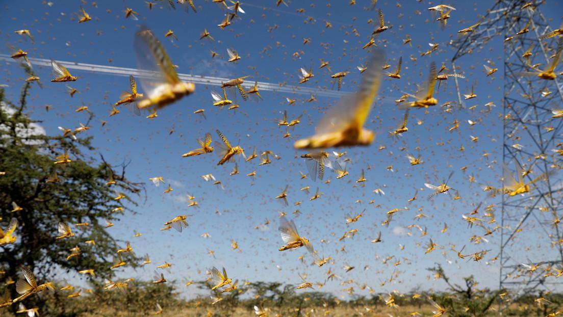 """VIDEO: África sufre una """"plaga bíblica"""" por la proliferación de las langostas"""