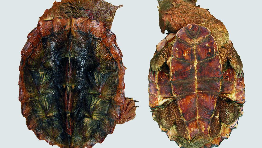 FOTO: Descubren una nueva especie de tortuga que parece una piedra