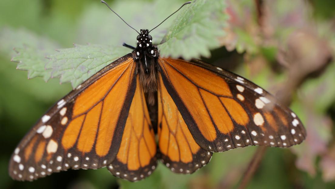 VIDEO: Cuelan un dron con forma de colibrí en medio de miles de mariposas monarca
