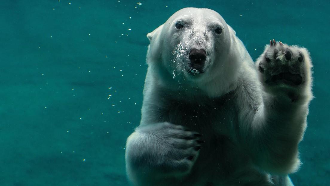 Un oso polar mata a una hembra en un zoológico de Rusia