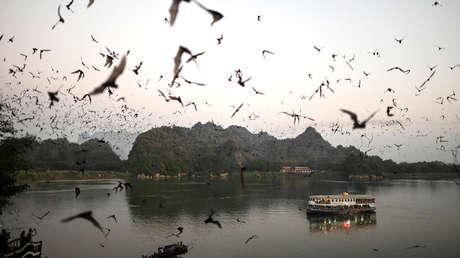 Identifican 6 nuevos tipos de coronavirus en murciélagos de Birmania