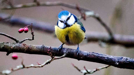 Una bacteria acaba con miles de pájaros en Alemania, al provocarles neumonía