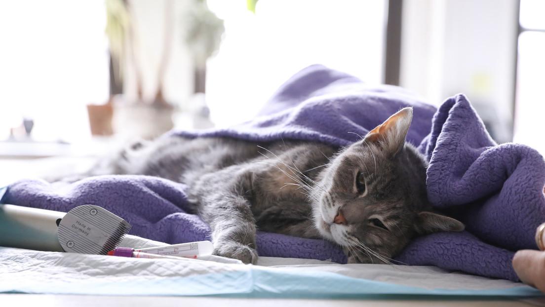Reportan en Francia un primer caso de contagio de covid-19 en un gato