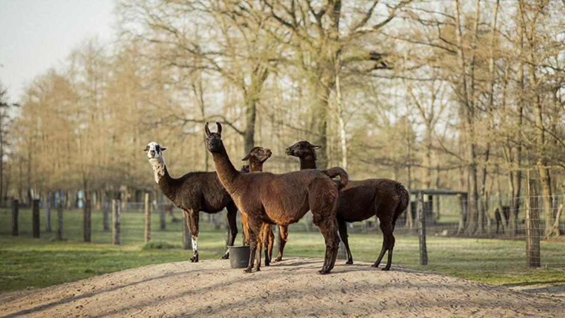 Las alpacas podrían ser clave para obtener anticuerpos eficaces contra el coronavirus