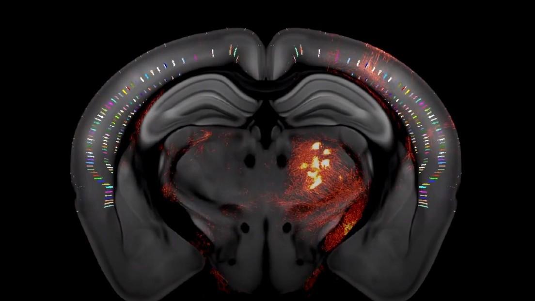 Mapean en 3D un cerebro de ratón y lo muestran en un video con todo lujo de detalle