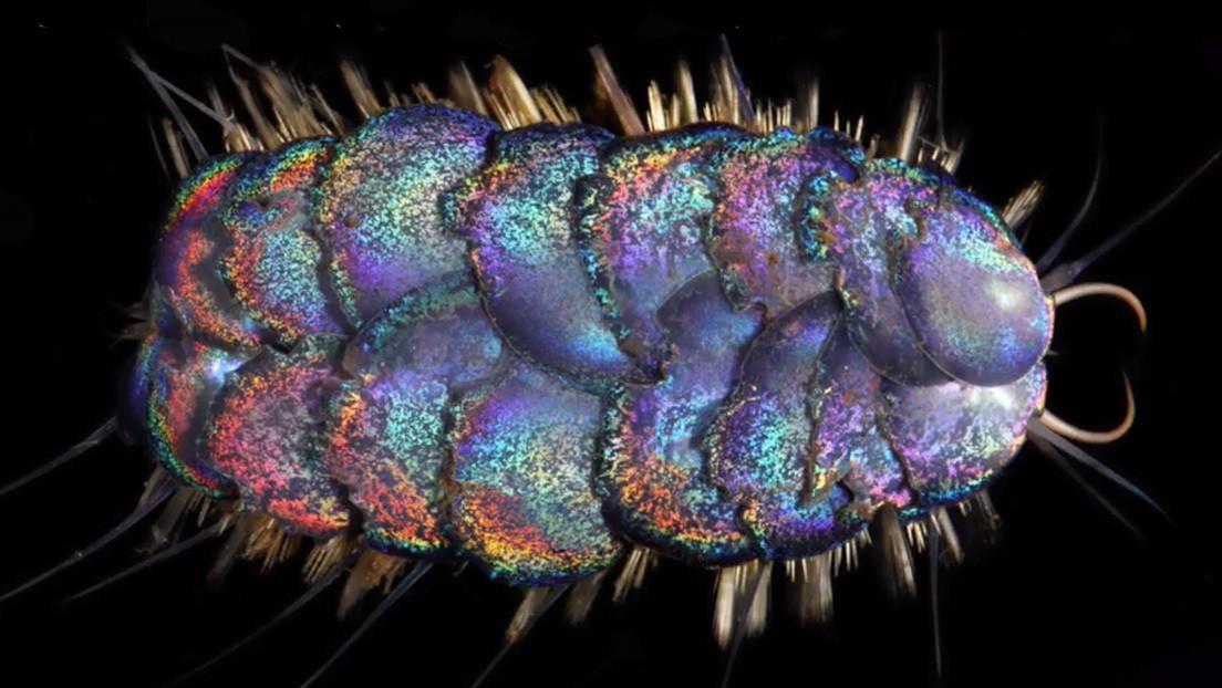 VIDEO: Descubren cuatro nuevos gusanos de vivos colores que habitan en las profundidades del océano