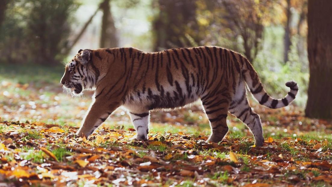 VIDEO: Un tigre intenta atrapar a un perro salvaje indio que no está dispuesto a rendirse