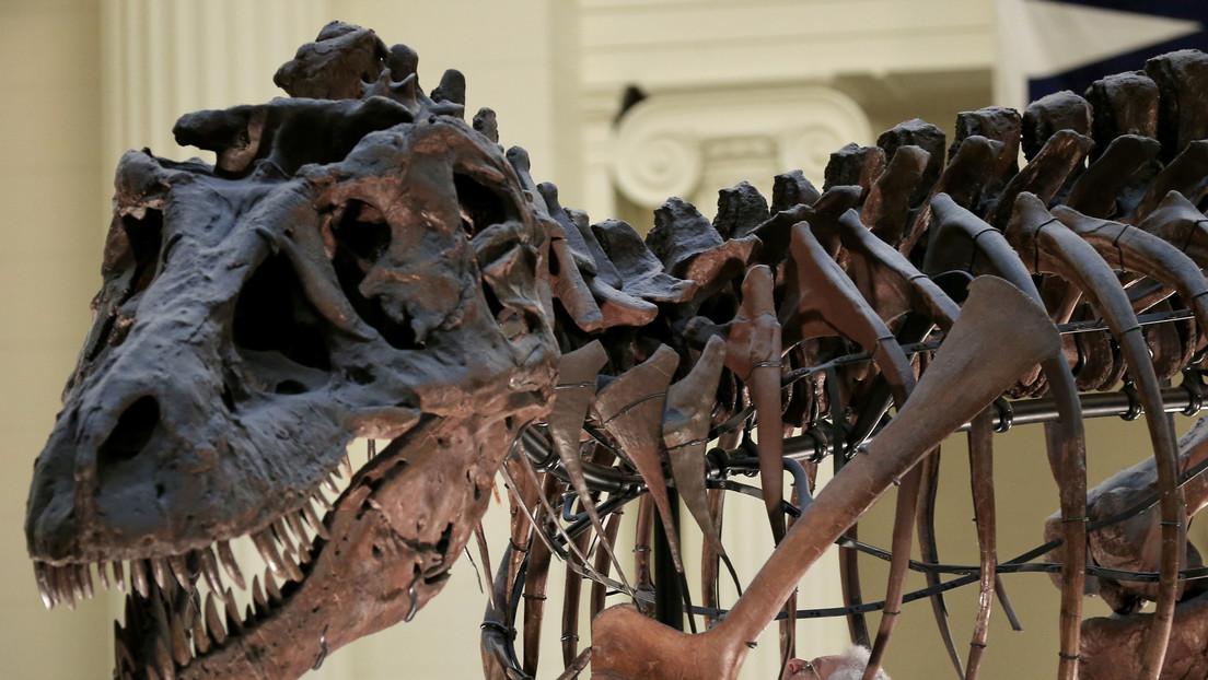 Un estudio 'frena' el mito del T-Rex: no era un corredor como se pensaba