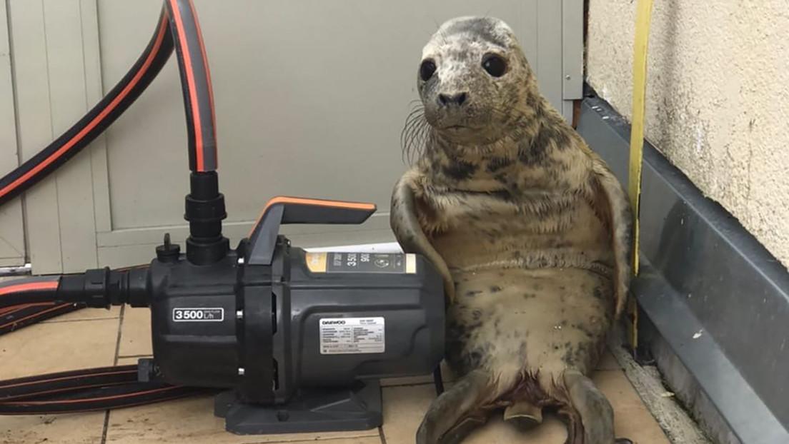Una cría de foca intenta escapar de un centro de rescate, se pierde y protagoniza una foto muy tierna