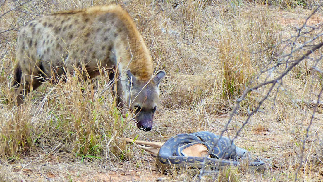 VIDEO: Una astuta hiena roba el impala que cazó una enorme pitón