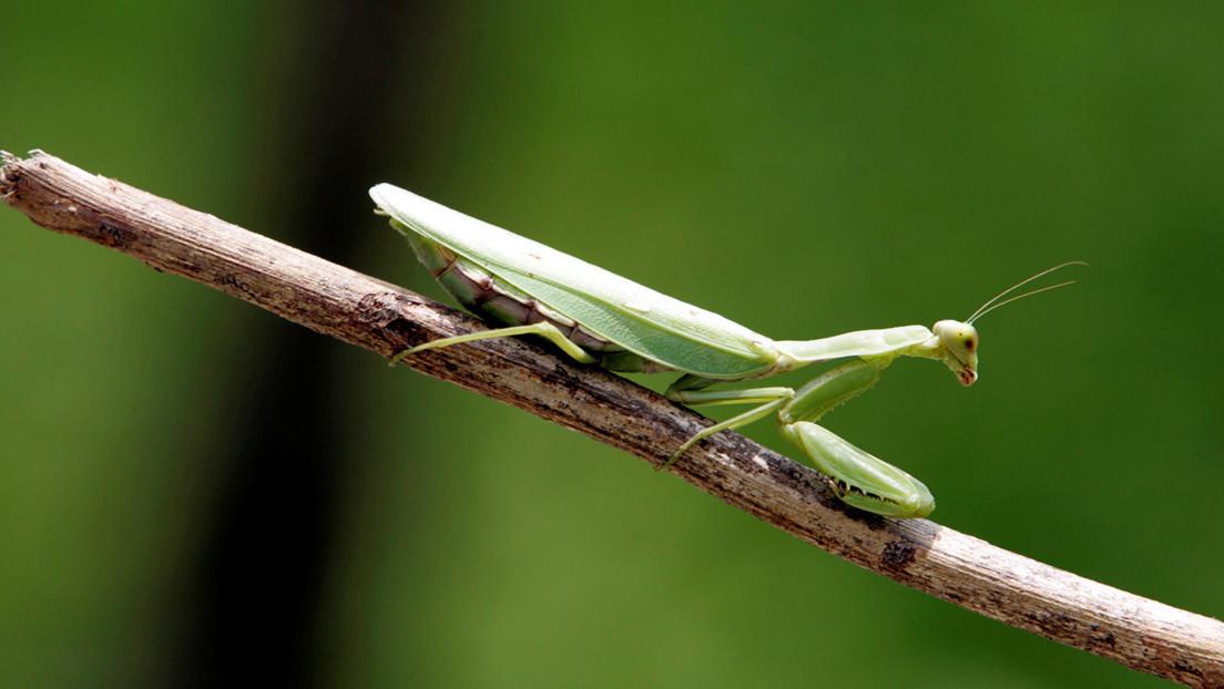 VIDEO: El ataque de una mantis religiosa analizado a cámara lenta revela un comportamiento jamás observado en este insecto