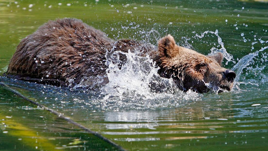 VIDEO: Un hombre ebrio ingresa al recinto de un oso e intenta ahogarle