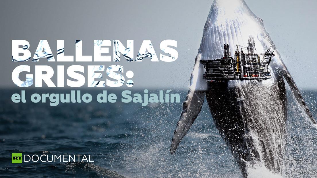 Ballenas grises: el orgullo de Sajalín