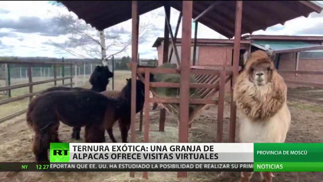 Ternura exótica: una granja de alpacas ofrece visitas virtuales