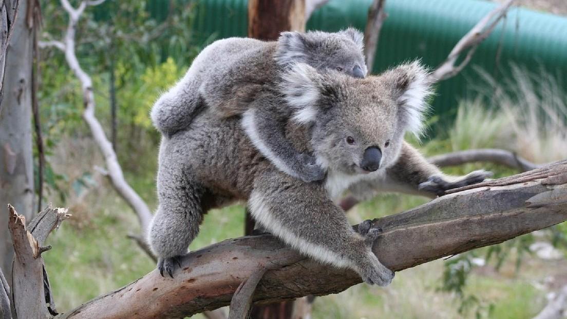 Nació el primer koala en Australia tras los devastadores incendios
