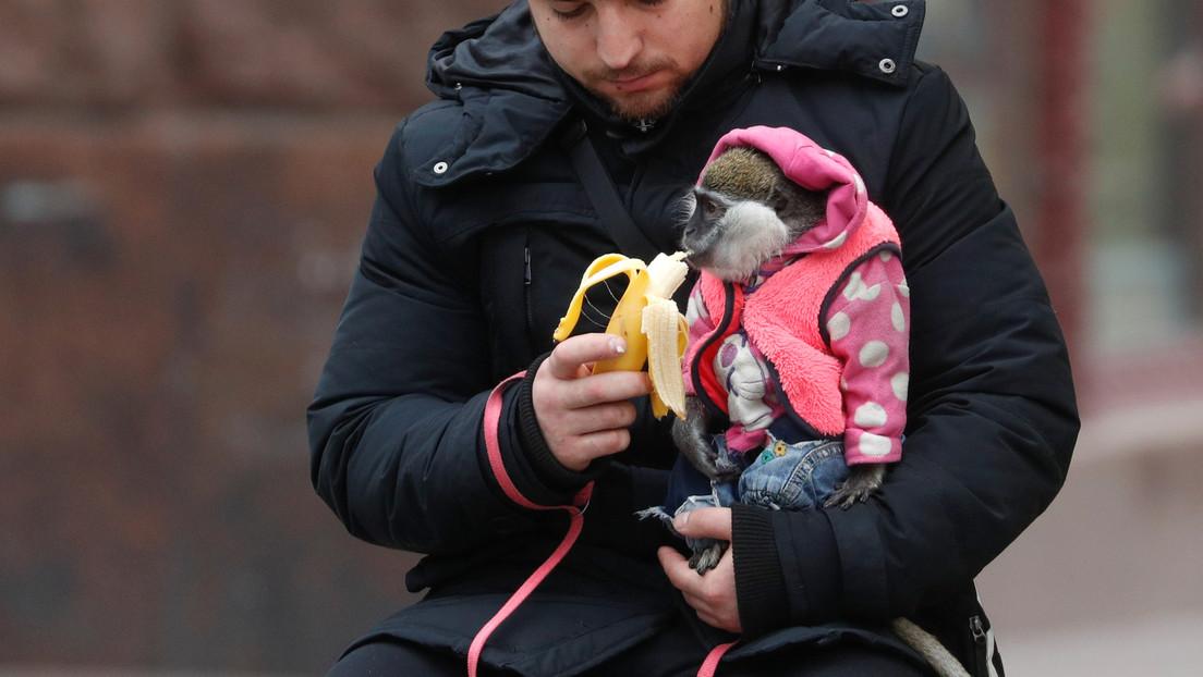 VIDEO: Un mono intenta robar la mascarilla de un pasajero en el metro de Moscú