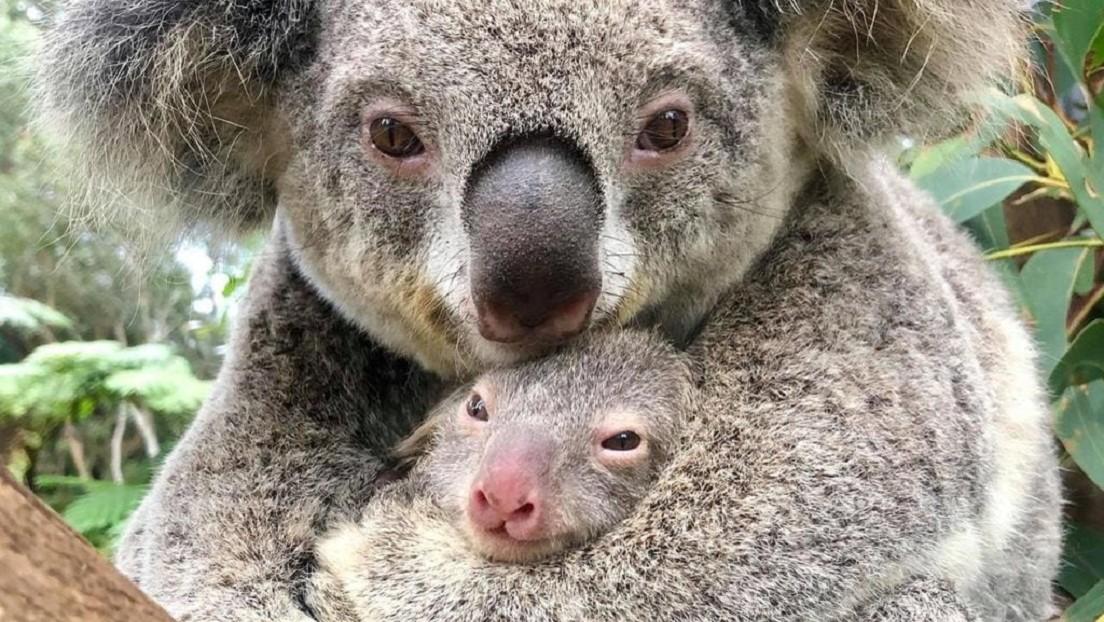 VIDEO: Nace el primer koala en un zoo australiano tras los devastadores incendios