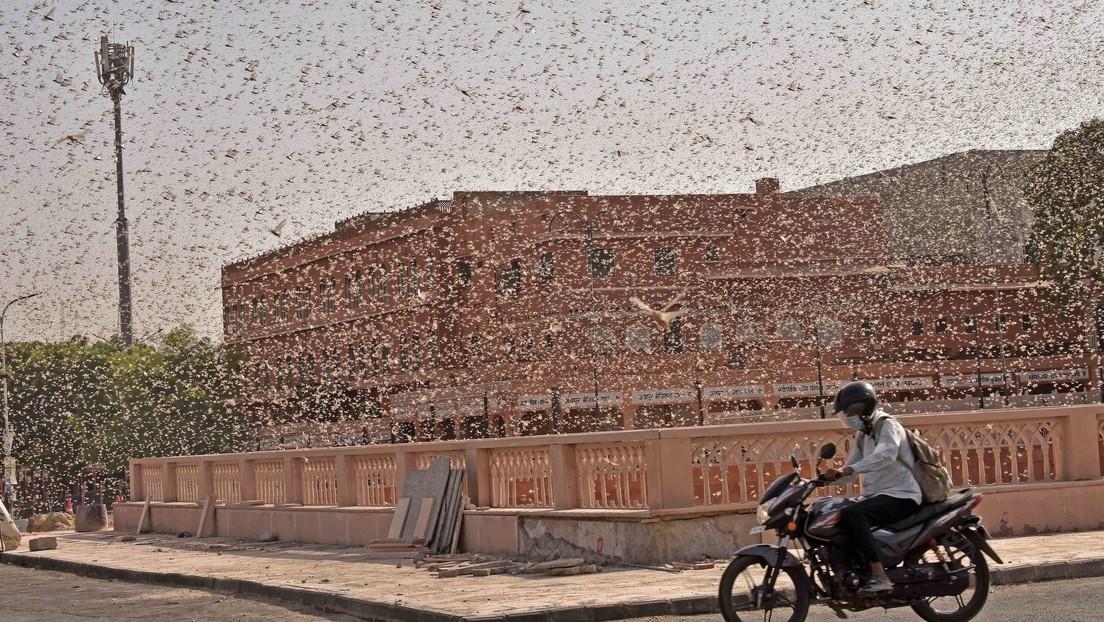 India: Organizan cacerolazos para espantar a una plaga de langostas (VIDEOS)