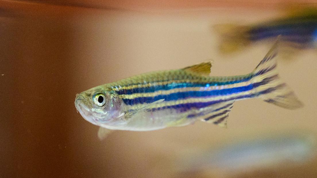 Descubren que los peces también se desesperan y podrían servir para probar antidepresivos