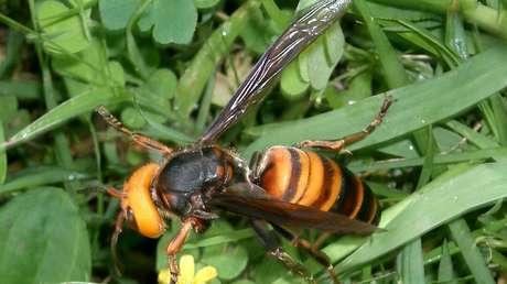 Encuentran por primera vez en EE.UU. avispones asiáticos 'asesinos', que acaban con colonias de abejas en horas
