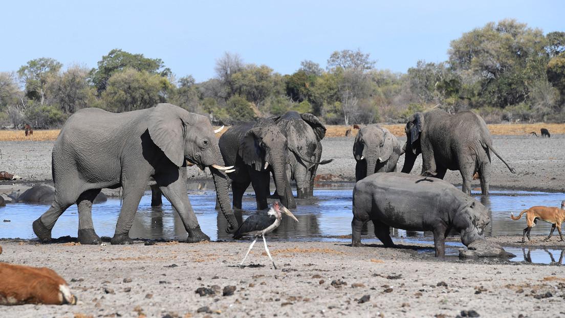 Mueren más de un centenar de elefantes en Botsuana y nadie sabe por qué