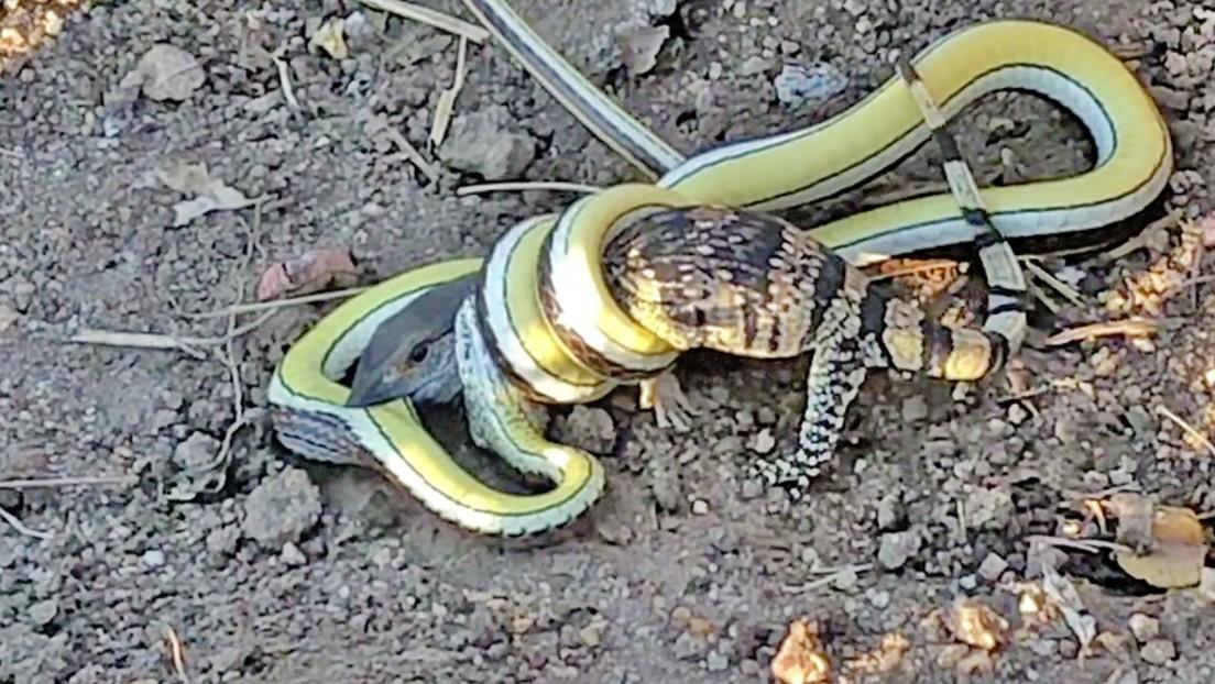 """VIDEO: Una cría de lagarto lucha """"a muerte"""" contra una serpiente venenosa"""