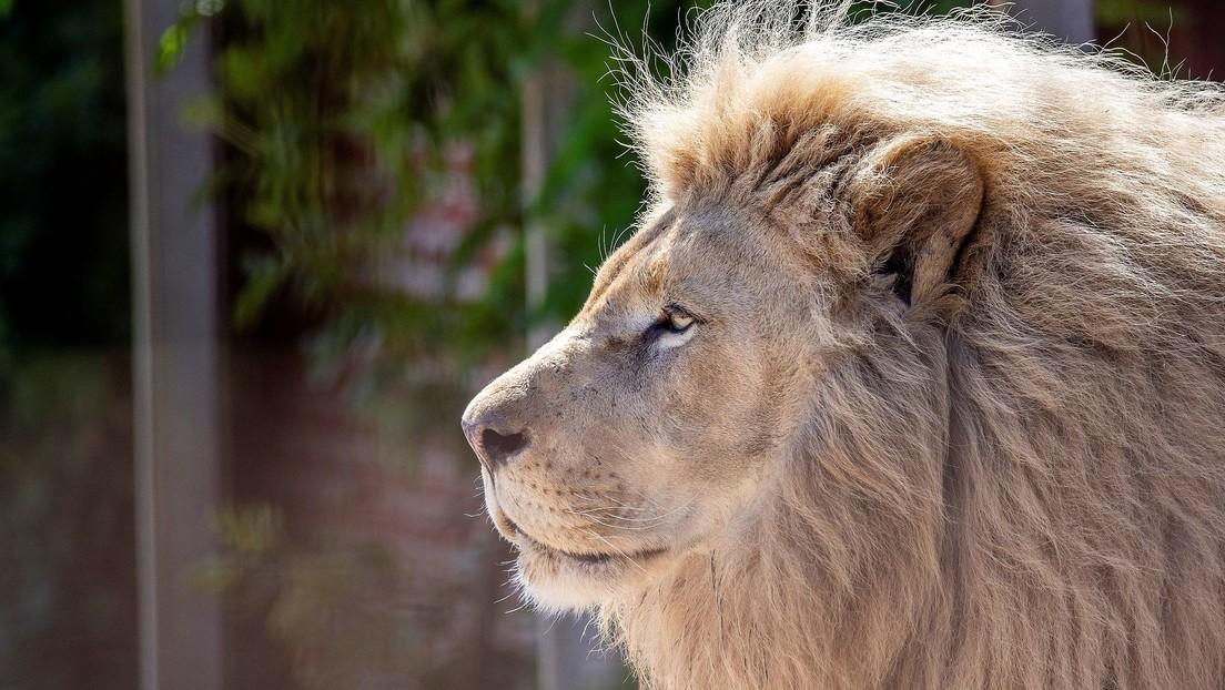 VIDEO: Un turista saca la mano por la ventanilla del coche y toca a un león, pero enseguida se arrepiente