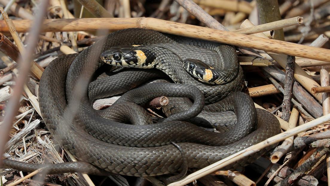 Encuentra una serpiente en su casa, la echa a la calle y al volver descubre que había decenas más en el lugar que menos esperaba