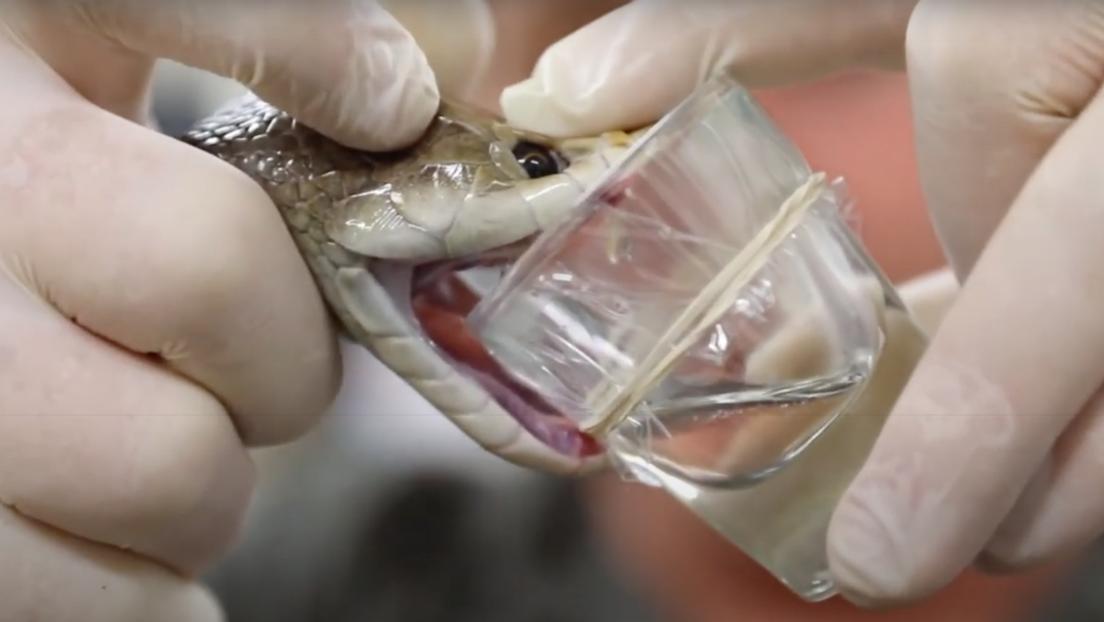 VIDEO: Una serpiente de Australia produce una dosis récord de veneno