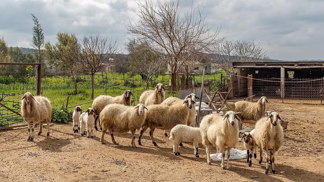 El Ejército británico causa la muerte en Chipre de miles de animales de granja por disparos y vuelos bajos