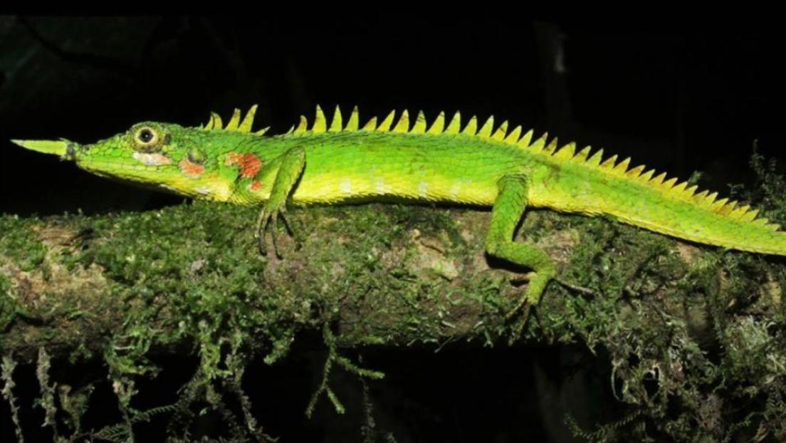 Confirman la existencia de lagartija nariz de cuerno dada por extinta (+Fotos)