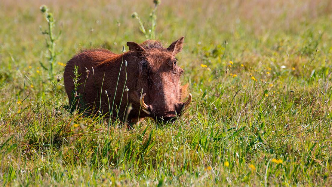 VIDEO: Una hiena acecha a una familia de jabalíes, pero acaba arrepintiéndose