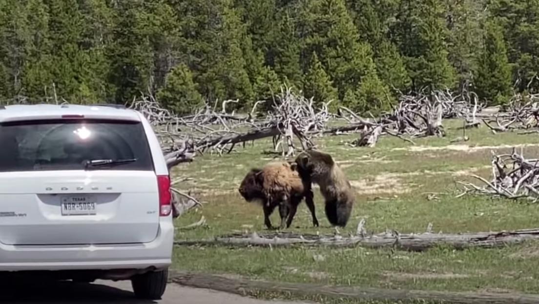VIDEO: Un oso grizzly y un bisonte se enfrentan en un duelo de un solo sobreviviente en Yellowstone