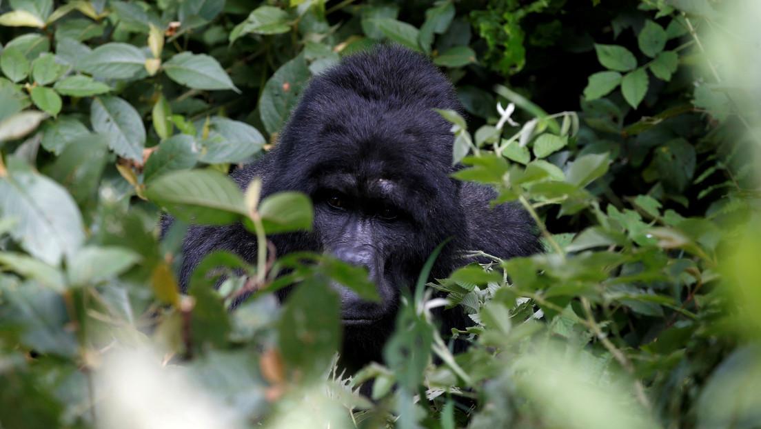 Cazadores furtivos matan a uno de los gorilas más famosos de África