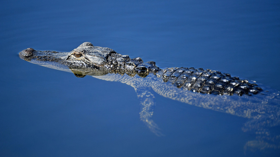 VIDEO: Una familia de Florida encuentra un pequeño aligátor nadando en su piscina