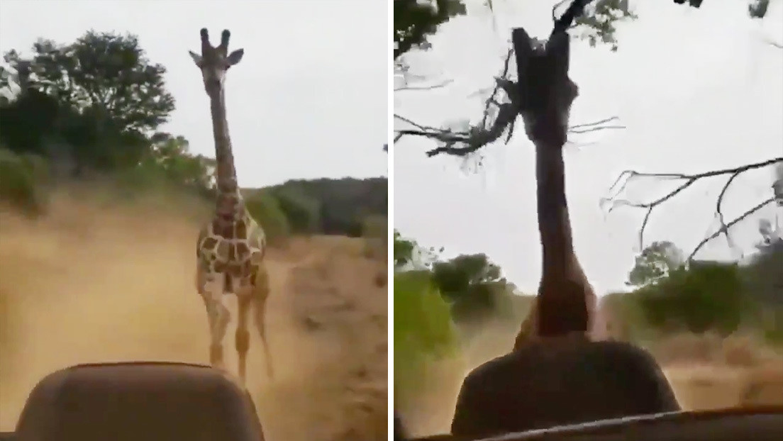 VIDEO: Una jirafa persigue un todoterreno con turistas
