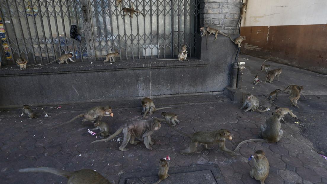 Tailandia: Esterilizarán a 500 monos que se volvieron agresivos ante la falta de turistas que los alimenten