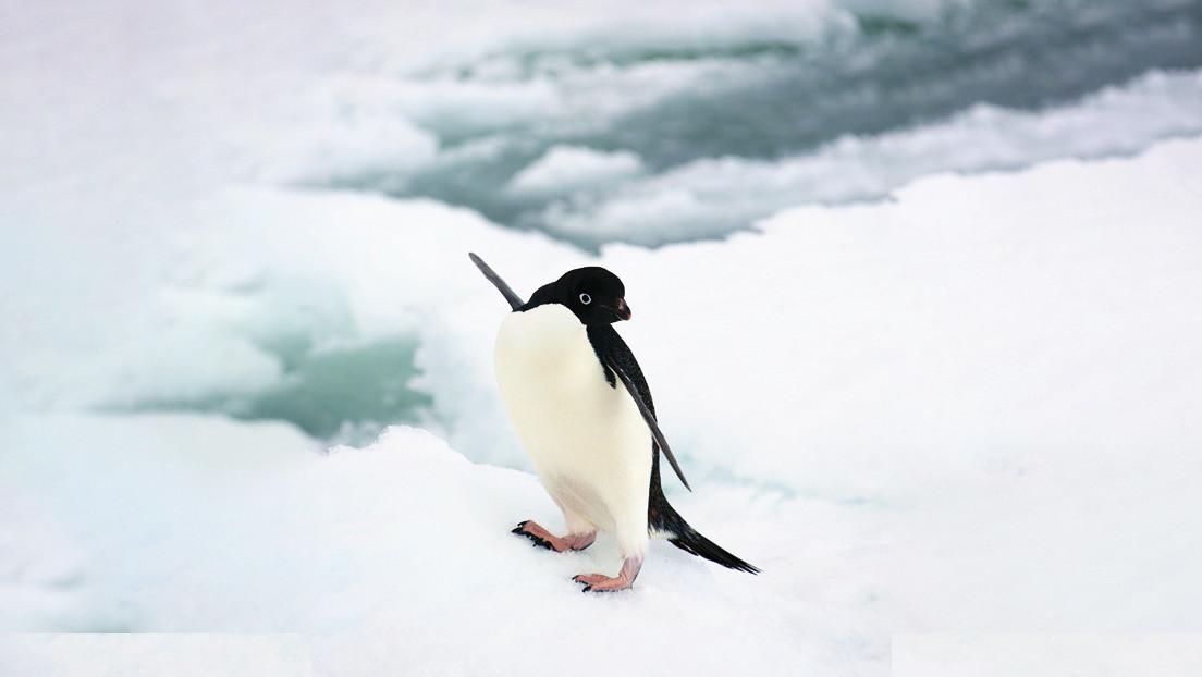 El cambio climático 'alegra' a los pingüinos
