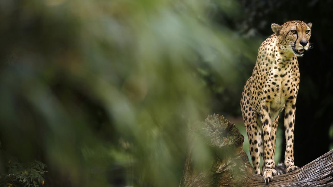 VIDEO: Una manada de jabalíes verrugosos le arrebata sin resistencia la comida a un guepardo