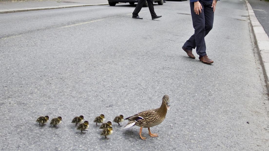 VIDEO: Detienen el tráfico para que una familia de patos cruce la calle